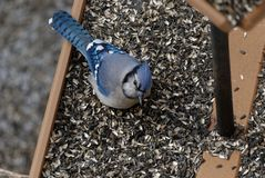Ο μπλε Jay που τρώει σε έναν τροφοδότη πουλιών στοκ εικόνα