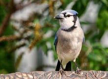 Ο μπλε Jay Στοκ Φωτογραφίες