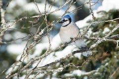 Ο μπλε Jay Στοκ εικόνες με δικαίωμα ελεύθερης χρήσης
