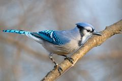 Ο μπλε Jay Στοκ Φωτογραφία