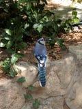 Ο μπλε Jay Στοκ φωτογραφία με δικαίωμα ελεύθερης χρήσης