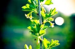 Ο Μπους σταφίδων καλλιεργεί την άνοιξη Στοκ φωτογραφία με δικαίωμα ελεύθερης χρήσης