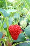 Ο Μπους της φράουλας στοκ φωτογραφία με δικαίωμα ελεύθερης χρήσης
