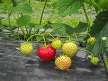 Ο Μπους της ώριμης κόκκινης και πράσινης φράουλας συγκεντρώνεται με τα πράσινα φύλλα και τα μούρα Στοκ εικόνα με δικαίωμα ελεύθερης χρήσης