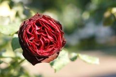 Ο Μπους των κόκκινων τριαντάφυλλων Στοκ Εικόνα