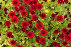 Ο Μπους των κόκκινων χρυσάνθεμων ανθίζει στον κήπο, φωτεινά λουλούδια φθινοπώρου όπως chamomile στοκ φωτογραφίες με δικαίωμα ελεύθερης χρήσης