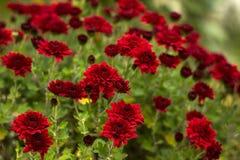Ο Μπους των κόκκινων χρυσάνθεμων ανθίζει στον κήπο, φωτεινά λουλούδια φθινοπώρου όπως chamomile στοκ εικόνες με δικαίωμα ελεύθερης χρήσης