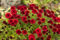 Ο Μπους των κόκκινων χρυσάνθεμων ανθίζει στον κήπο, φωτεινά λουλούδια φθινοπώρου όπως chamomile στοκ φωτογραφία