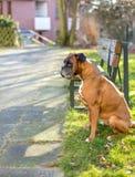 Ο μπόξερ περιμένει τον ιδιοκτήτη Στοκ Φωτογραφίες
