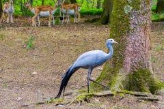 Ο μπλε γερανός και τα deers Στοκ Φωτογραφία