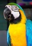 Ο μπλε-και-κίτρινος macaw, είναι ένας μεγάλος νότος - αμερικανικοί παπαγάλος & x28 Ara ararauna& x29  Στοκ φωτογραφίες με δικαίωμα ελεύθερης χρήσης