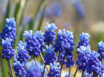Ο μπλε υάκινθος σταφυλιών καλλιεργεί την άνοιξη Στοκ εικόνα με δικαίωμα ελεύθερης χρήσης