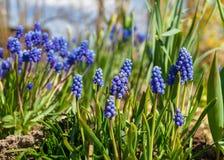 Ο μπλε υάκινθος σταφυλιών καλλιεργεί την άνοιξη Στοκ φωτογραφία με δικαίωμα ελεύθερης χρήσης
