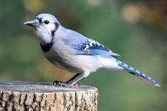 Ο μπλε Jay που σκαρφαλώνει σε ένα κολόβωμα δέντρων Στοκ Εικόνα