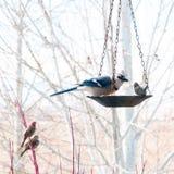 Ο μπλε Jay που τρώει από τον τροφοδότη πουλιών Στοκ Εικόνες