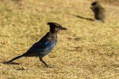 Ο μπλε Jay που ψάχνει τα τρόφιμα στον τομέα με την ξηρά κίτρινη χλόη Στοκ φωτογραφία με δικαίωμα ελεύθερης χρήσης