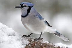 Ο μπλε Jay σε έναν χειμερινό κλάδο Στοκ φωτογραφία με δικαίωμα ελεύθερης χρήσης