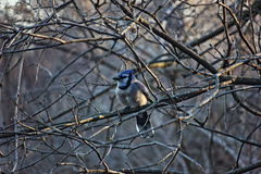 Ο μπλε Jay στα ξημερώματα Στοκ Φωτογραφία