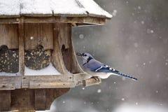 Ο μπλε Jay στο χειμώνα τροφοδοτών πουλιών στοκ εικόνες με δικαίωμα ελεύθερης χρήσης