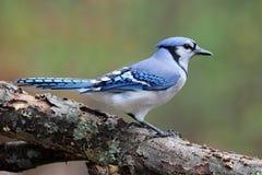 Ο μπλε Jay το φθινόπωρο Στοκ εικόνα με δικαίωμα ελεύθερης χρήσης