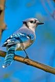 Ο μπλε Jay Στοκ φωτογραφίες με δικαίωμα ελεύθερης χρήσης