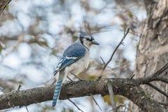 Ο μπλε Jay Στοκ Εικόνες