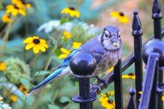 Ο μπλε Jay Στοκ Εικόνα