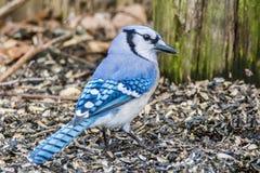 Ο μπλε Jay στοκ εικόνα με δικαίωμα ελεύθερης χρήσης
