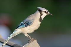 Ο μπλε Jay (cristata Cyanocitta) που σκαρφαλώνει σε μια θέση Στοκ Εικόνες
