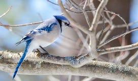 Ο μπλε Jay (cristata Cyanocitta) στην πρόωρη άνοιξη, που σκαρφαλώνει σε έναν κλάδο, που παρατηρεί και που ερευνά την περιοχή του Στοκ φωτογραφίες με δικαίωμα ελεύθερης χρήσης
