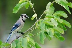Ο μπλε Jay (cristata Cyanocitta) στοκ εικόνες με δικαίωμα ελεύθερης χρήσης