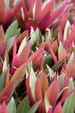Ο Μωυσής σε ένα λίκνο Rhoeo αποχρωματίζει τη ροζέτα με τα δις-χρωματισμένα φύλλα Στοκ Εικόνες