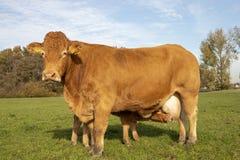 Ο μόσχος του Λιμουζέν κρυφοκοιτάζει επάνω πίνοντας, γάλα udders της που στέκεται, θηλάζοντας αγελάδα μητέρων, σε ένα πράσινο λιβά στοκ φωτογραφία με δικαίωμα ελεύθερης χρήσης