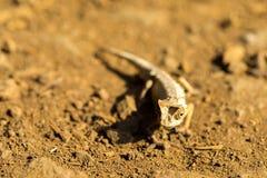 Ο νάνος χαμαιλέοντας, antacanana Brookesia είναι πολύ μικρός ενδημικός χαμαιλέοντας, ηλέκτρινο βουνό, Μαδαγασκάρη Στοκ Εικόνες