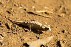Ο νάνος χαμαιλέοντας, antacanana Brookesia είναι πολύ μικρός ενδημικός χαμαιλέοντας, ηλέκτρινο βουνό, Μαδαγασκάρη Στοκ Φωτογραφία