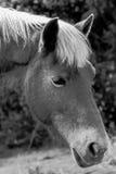 Ο νέοι δασικοί Μαύρος & λευκό κεφαλιών αλόγων Στοκ Φωτογραφίες