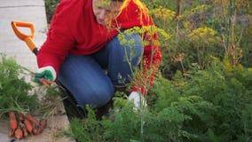 Ο νέος αγρότης γυναικών στο κόκκινα πουλόβερ και το τζιν παντελόνι σκάβει επάνω το καρότο και το τεύτλο στο κρεβάτι κήπων στενά χ απόθεμα βίντεο