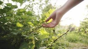 Ο νέος αγρότης ελέγχει τους καρπούς των unripe σταφίδων στον οργανικό κήπο απόθεμα βίντεο