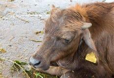 Ο νέος βούβαλος κοιμάται Στοκ Φωτογραφίες