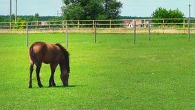 Ο νέος καφετής επιβήτορας βόσκει στην πράσινη χλόη στη μάντρα Άλογο στο λιβάδι την ηλιόλουστη ημέρα φιλμ μικρού μήκους