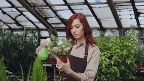 Ο νέος κηπουρός γυναικών που φορά την ποδιά ποτίζει το φυτό γλαστρών και ελέγχει τα φύλλα εργαζόμενος μέσα στο θερμοκήπιο επάγγελ απόθεμα βίντεο