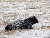 Ο νέος κρύος ταύρος βάζει στο άσπρο λιβάδι ως σωροί χιονιού στην πλάτη του στοκ φωτογραφία με δικαίωμα ελεύθερης χρήσης