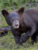 Μαύρος αντέξτε Cub Στοκ εικόνες με δικαίωμα ελεύθερης χρήσης