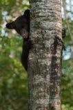 Ο νέος Μαύρος αντέχει (Ursus αμερικανικό) κρυφοκοιτάζει γύρω από τον κορμό δέντρων Στοκ Φωτογραφία