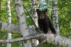 Ο νέος Μαύρος αντέχει (Ursus τα αμερικανικά) βλέμματα έξω από τον κλάδο δέντρων Στοκ Φωτογραφίες