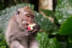 Ο νέος πίθηκος Macaque τρώει Στοκ εικόνες με δικαίωμα ελεύθερης χρήσης
