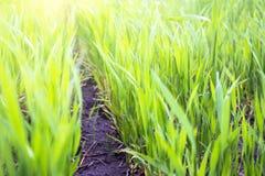 Ο νέος πράσινος σίτος αυξάνεται στο χώμα στοκ φωτογραφίες με δικαίωμα ελεύθερης χρήσης