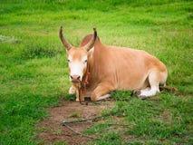 Ο νέος ταύρος πάλης χαλαρώνει και μηρυκαστικό στοκ εικόνες με δικαίωμα ελεύθερης χρήσης