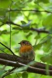 Ο νέος Robin redbreast στο θερινό χρόνο Στοκ Εικόνα