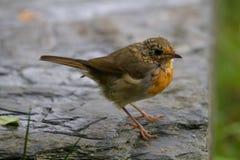 Ο νέος Robin redbreast στο θερινό χρόνο Στοκ Εικόνες